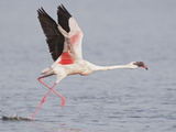 Lesser Flamingo (Phoenicopterus Minor) Running for Take-Off  Kenya  Africa