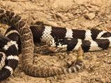 California Kingsnake (Lampropeltis Getula Californiae) Eating a Rattlesnake (Crotalus)  California