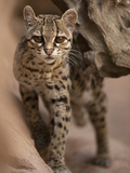 Margay (Leopardus Wiedii) in Southwest USA