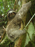 Brown-Throated Three-Toed Sloth (Bradypus Variegatus)  Cahuita National Park  Costa Rica