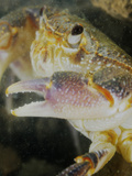 Freshwater Crab Head (Potamon Fluviatilis)  Italy