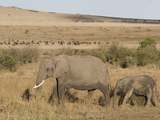 African Elephant Adult and its Young Walking across the Savanna  Loxodonta Africana