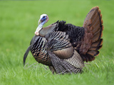 Male Turkey Displaying