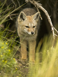 South American Gray Fox (Pseudalopex Griseus)  Chile  South America