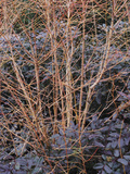 Bloodtwig Dogwood (Cornus Sanguinea) under Planted with Oregon Grape Holly (Mahonia Aquifolium)