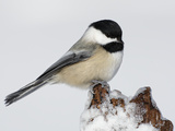 Black-Capped Chickadee (Poecile Atricapillus) on Icy Stump