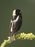 Male Bobolink Singing  Dolichonyx Oryzivorus  North America