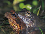 Common Frogs in Amplexus (Rana Temporaria)  Switzerland