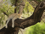 Leopard Sleeping in a Tree (Panthera Pardus)  Samburu  Kenya