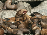 Bull Stellar Sea Lion (Eumetopias Jubatus) Standing Guard over His Harem in a Rookery