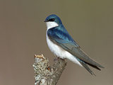Tree Swallow (Tachycineta Bicolor)  Maine  USA
