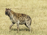 Spotted Hyena (Crocuta Crocuta) Walking in the Masai Mara Game Reserve  Kenya