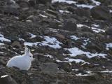 Arctic Hare (Lepus Arcticus) Grise Fiord  Ellesmere Island  High Arctic Nunavut  Canada