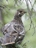 Grouse Hen in Spruce Tree