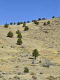Shrub Steppe with Western Juniper (Juniperus Occidentalis)  Eastern Oregon  USA