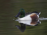 Northern Shoveler Drake (Anas Clypeata)  California  USA