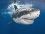 Great White Shark (Carcharodon Carcharias)  Guadalupe Island  Mexico  Eastern Pacific Ocean
