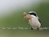 Loggerhead Shrike  Lanius Ludovicianus  with a Horned Lizard Prey  Phrynosoma  in its Bill  Texas
