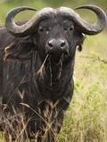 African Buffalo (Syncerus Caffer) Eating Grass in the Masai Mara Game Reserve  Kenya