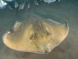 Stingray (Dasyatis Pastinaca) Los Gigantes  Tenerife  Canary Islands  Atlantic Ocean
