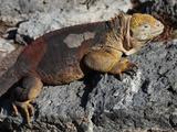 Galapagos Land Iguana (Conolophus Subcristatus)  South Plaza Island  Galapagos