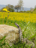 Asp Viper (Vipera Aspis) Near a Dandelion Field  Italy