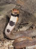 Coral Cobra (Aspidelaps Lubricus Cowlesi) with Head Raised  Namibia  Captivity