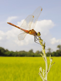 A Male Spotted Darter (Sympetrum Depressiusculum) in a Rice Field  Italy