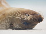 Galapagos Sea Lion Head Upside Down While Resting on a Beach  Zalophus Californianus