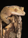 Crested Gecko Head (Rhacodactylus Ciliatus)  New Caledonia  Captivity