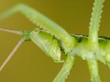 The Predatory Bush Cricket (Saga Pedo) Is One of Only a Few Carnivore Crickets