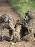 Olive Baboons Grooming (Papio Anubis)  Lake Nakuru  Kenya