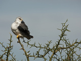 Black-Shouldered Kite (Elanus Caeruleus)  Serengeti National Park  Tanzania