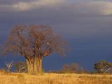 Baobab Tree (Adansonia Digitata)  Masai Mara  Kenya