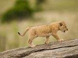 African Lion (Panthera Leo) Cub Climbing a Log in the Masai Mara  Kenya
