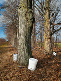 Sugar Maple Trees (Acer Saccharum) Tapped  Michigan  USA