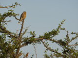 Greater Kestrel (Falco Rupicoloides)  Serengeti National Park  Tanzania