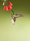 White-Throated Mountain-Gem Hummingbird Nectaring at a Red Tubular Flower