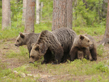 European Brown Bear (Ursus Arctos) Mother and Cubs  Finland