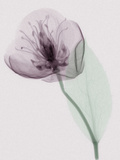 X-Ray of a Leaf and Flower