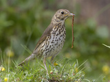 Song Thrush (Turdus Philomelos) Eating a Worm  UK