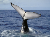 Humpback Whale Fluke (Megaptera Novaeangliae)  Queensland  Australia