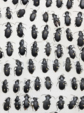 Ground Beetles or Carabid Collection
