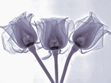 X-Ray of Rose Flowers