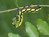 Brahmeid Moth Caterpillar (Brahmaea Wallichii)  5th Instar  China