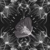 X-Ray of Flowers