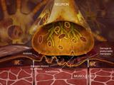 Myasthenia Gravis  Illustration of a Neuromuscular Junction