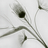 X-Ray of Flowers (Bird of Paradise  Protea  and Daisies)