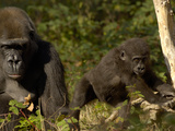 Western Lowland Gorilla (Gorilla Gorilla Gorilla) Mother and Young  Captive