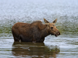 Moose (Alces Alces) Calf Drinking Water  Baxter State Park  Millinocket  Maine  USA